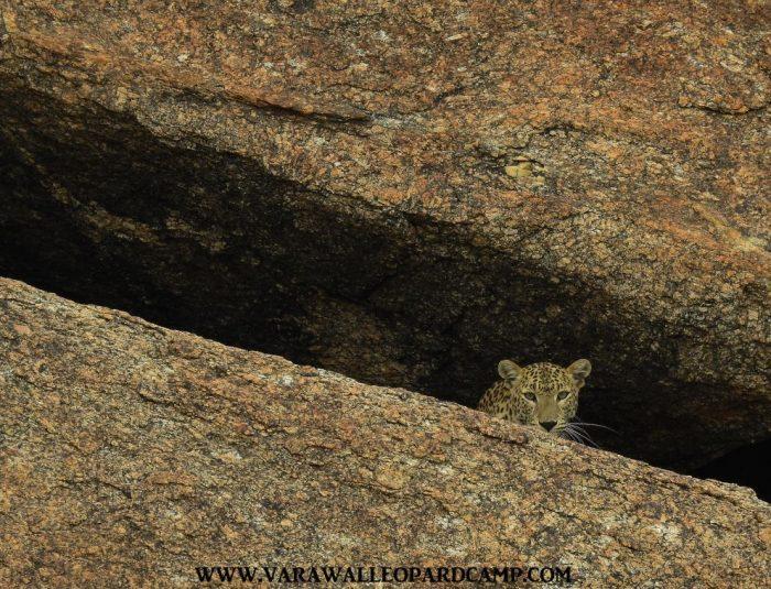 Neelam~ Jawai Leopard